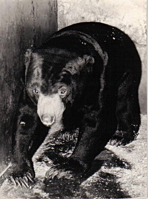 Stammvater der Berliner Malaienbären