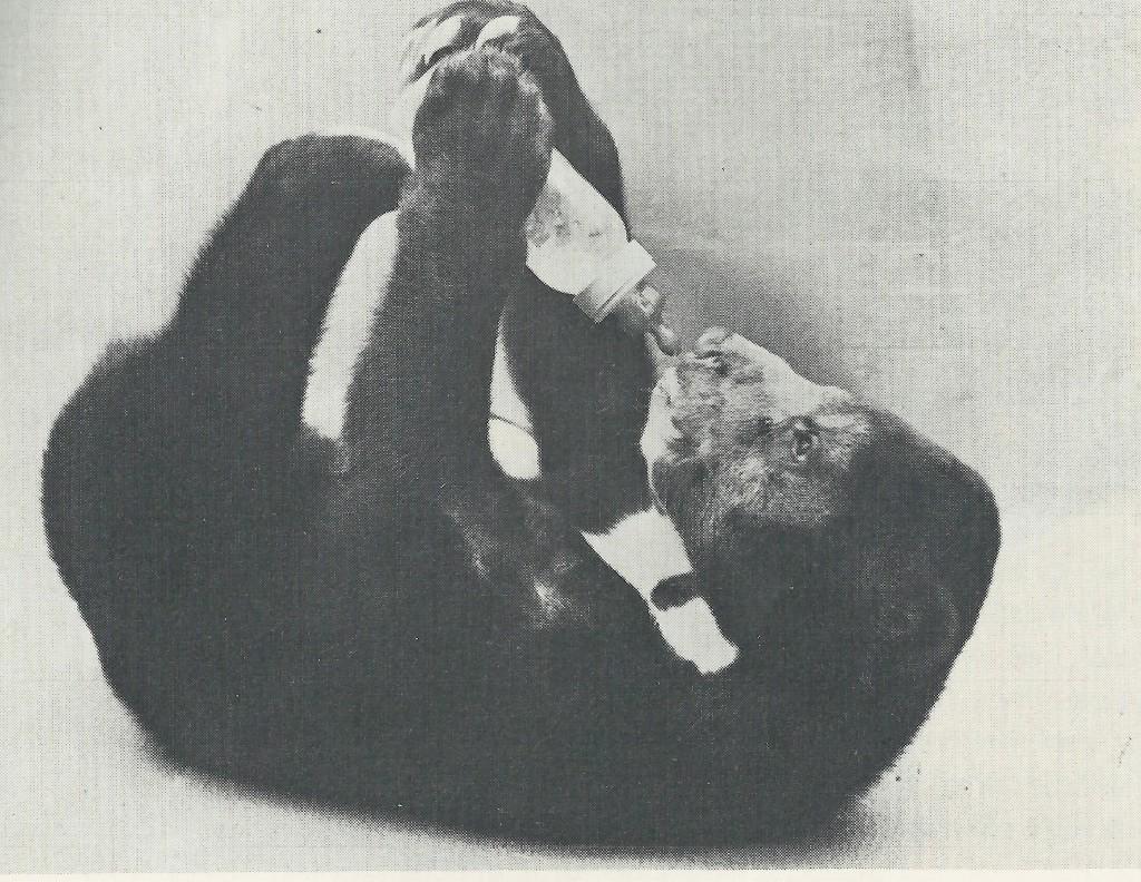 Fräulein Sue aus Münster, Erstgeburt in Münster und Handaufzucht geboren im Jahr 1979